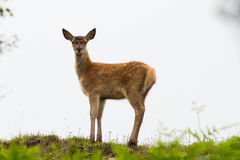 Young red deer calf standing on hill Royalty Free Stock Photography