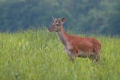 Young Red Deer, Cervus elaphus, stag growing velvet antlers in summer Royalty Free Stock Photography