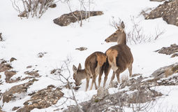 Red Deer mother and calf Stock Images