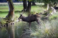 Young red deer drinking Royalty Free Stock Photography