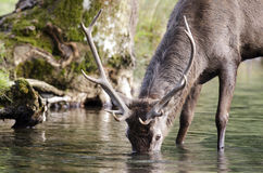 Young red deer drinking Stock Photography