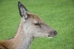 Young Red Deer Hind Royalty Free Stock Photos