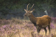 Young red deer male rutting Royalty Free Stock Photos