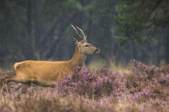 Young red deer male rutting Royalty Free Stock Photo