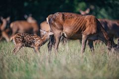 Young red deer nursing from mother. royalty free stock photography
