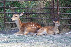Young Red Deer resting. At the zoo Stock Photos