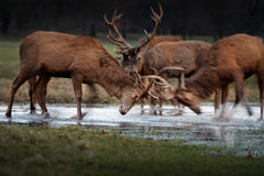 Young Red Deer Rutting In Water Stock Images