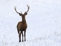 Young  red deer in snow Royalty Free Stock Photo