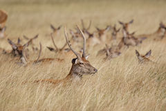 Young Red Deer stag (Cervus elaphus) with herd behind Stock Photos