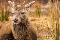 Young red deer stag Cervus elaphus lying down in the long grass in Glencoe Scotland Royalty Free Stock Photo