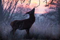 Young Red Deer Stag Feeds on Low Branches in Woodland. A young male Red Deer Cervus elaphus nibbles low hanging branches at dawn, on a cold and frosty morning in Stock Photo