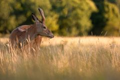 Young Red Deer Stag in Golden Grass stock photos