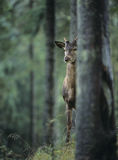 Young red deer stag peeking from behind tree Royalty Free Stock Images