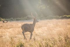 Young Red Deer stag at sunrise royalty free stock photography