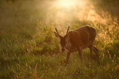 Young Red Deer stag at Sunset Royalty Free Stock Photo
