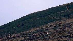 Young red deer stags fighting amidst the seasonal rut in a glen, cairngorms NP, scotland. Young red deer stags fighting amidst the seasonal rut in a glen on a stock footage