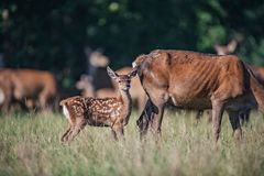 Young red deer standing next to mother. royalty free stock image
