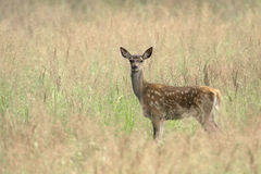 Young Red deer Stock Images