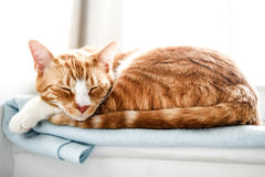 Young red domestic cat sleeping on a blanket royalty free stock photo