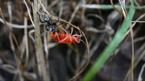 Young red firebug. stock video footage