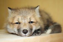 Young Red Fox. A little baby red fox lying down Royalty Free Stock Images