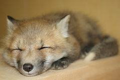 Young Red Fox. A little baby red fox sleeping Stock Image