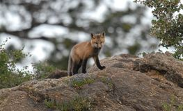 Young Red Fox Royalty Free Stock Image