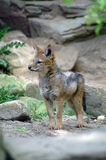 Young red fox. Portrait of young red fox outdoors with rocky background Stock Image