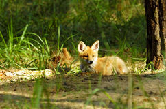 Young red fox Stock Photography