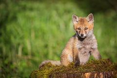 Young red fox on a bed of moss Royalty Free Stock Photo