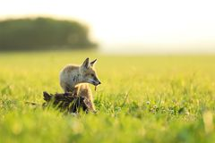 Young red fox with catched bird on meadow in the morning - Vulpes vulpes. Young red fox look after the catched bird on meadow - Vulpes vulpes Stock Photo