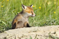 Young red fox closeup Stock Photo