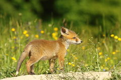 Young red fox. Exploring the surroundings near the burrow ( Vulpes vulpes Stock Images
