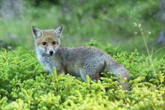 Young red fox in forest on summertime - Vulpes Vulpes Stock Photos