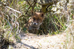 Young red fox hiding in the shade Royalty Free Stock Images