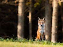 Young red fox keeping an eye on the camera. Young red fox sitting on the edge of the forest, looking cautiously at the camera Stock Images