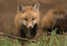 Young red fox kit is curious outside his den in a meadow Royalty Free Stock Photo