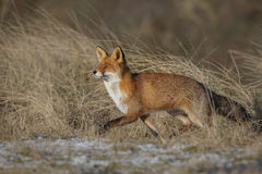 Young red fox in long grass Stock Photo