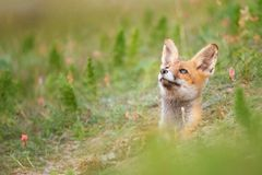 Young Red Fox looks out of his burrows Stock Photo