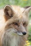 Young red fox. Portrait of a young european red fox in the meadow in spring, symbol for slyness Royalty Free Stock Photos