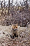 Young red fox puppy explores outside den Royalty Free Stock Photo