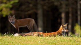 Young red fox resting on the grass. Immature red fox (Vulpes vulpes) resting on the grass after a mock fight with its sibling, which is keeping a watchful eye on Royalty Free Stock Photo
