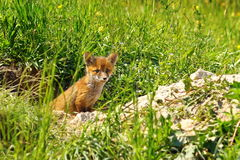 Young red fox. Standing at the entrance of the burrow ( Vulpes vulpes Stock Photo