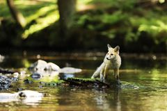 Young red fox staying on stone in river - Vulpes vulpes. Young vixen of red fox stay in river on stone with moss  - Vulpes vulpes Royalty Free Stock Images