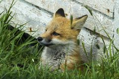 Young red fox under side of shed