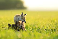 Young red fox vixen ptect prey  on meadow in the morning - Vulpes vulpes Stock Photography