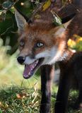 Young Red Fox (Vulpes vulpes) Stock Images