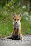 Young red fox sitting on gravel roadside in summer. Young red fox, vulpes vulpes, sitting on gravel roadside in summer. Wild animal on road stock photography