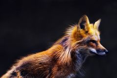 Young red fox (vulpes vulpes) in soft sunset light Stock Photos