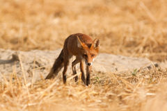 Young Red fox Royalty Free Stock Photos